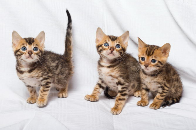 Bengal cat breed information, Bengal cat advice  - Your Cat
