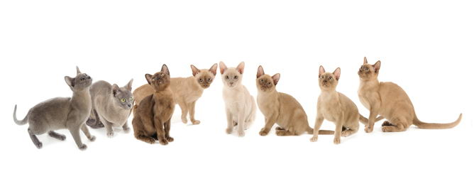 Burmese Cat breed information and advice  - Your Cat