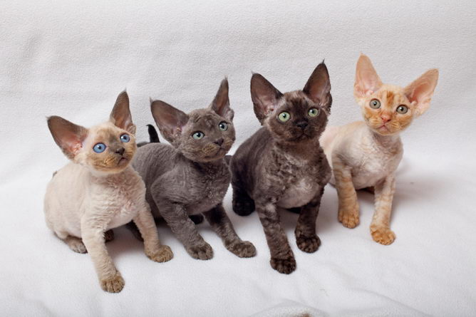 Devon Rex Cat Breed Information And Advice Your Cat