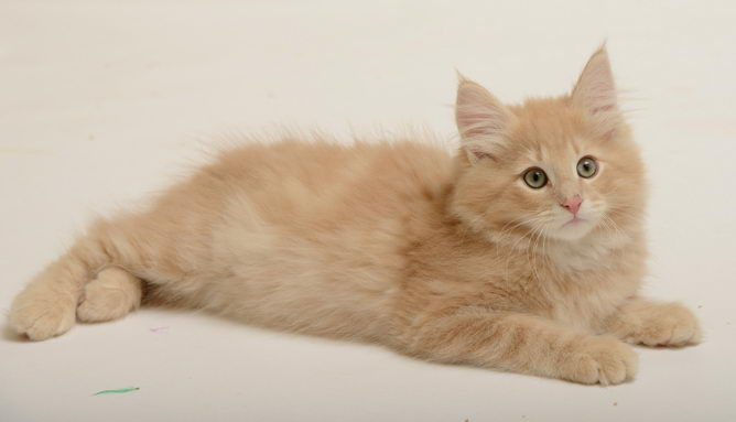 Norwegian Forest Cat Breed Information And Advice Your Cat