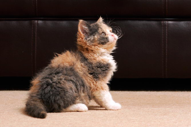 Selkirk cat breed information