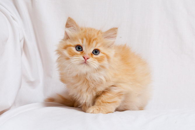 Siberian cat breed information