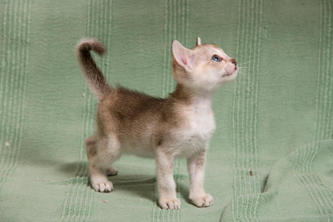 Singapura cat breed information and advice.