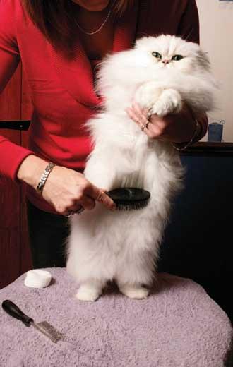 Grooming my persian cat