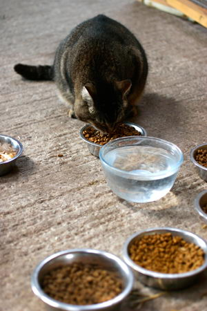 What should i feed my diabetic cat forumfinder Images