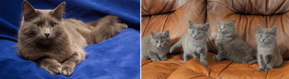 Nebelung Cat Breed Profiles