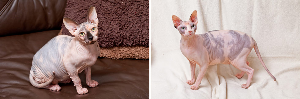 Sphynx Cat Breed Profile
